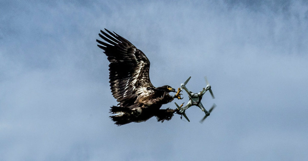 Bird of prey capturing a drone in flight.